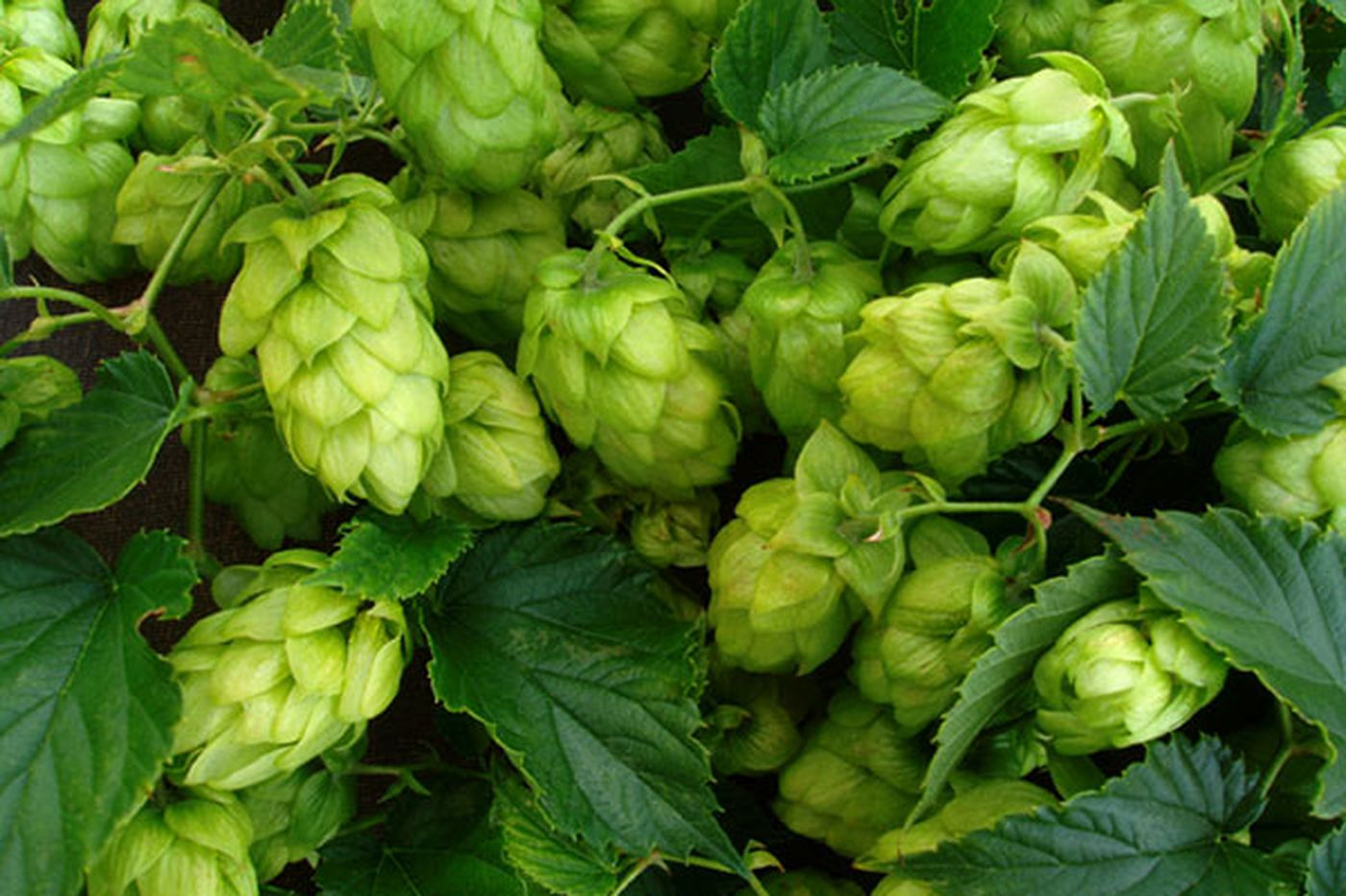 Pennsylvania brewers hop to it