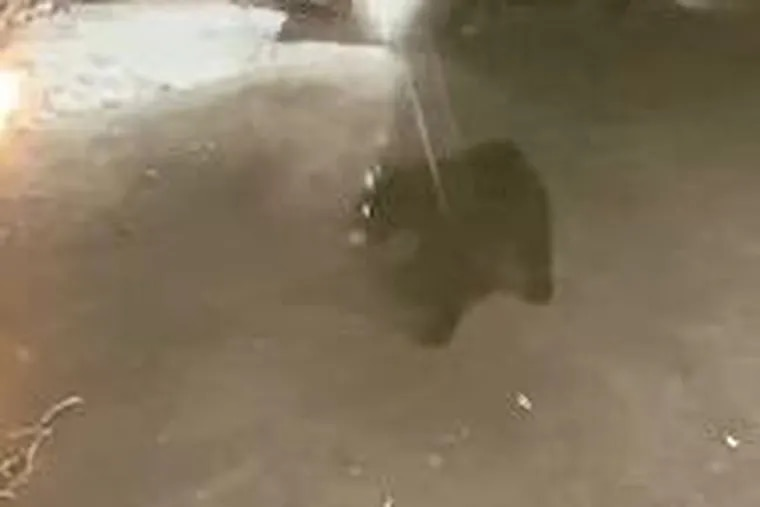 A surveillance camera caught this bear roaming around a neighborhood in Villanova.