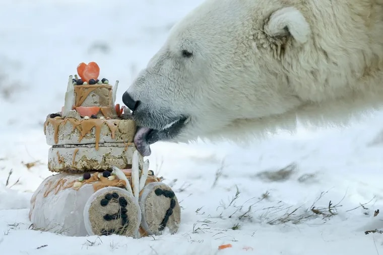 """Coldilocks celebrates her 37th birthday, which was Wednesday, with a special frozen """"cake"""" made of peanut butter, fish, carrots, raisin and bear chow in her habitat at the Philadelphia Zoo on Thursday, Dec. 14, 2017."""