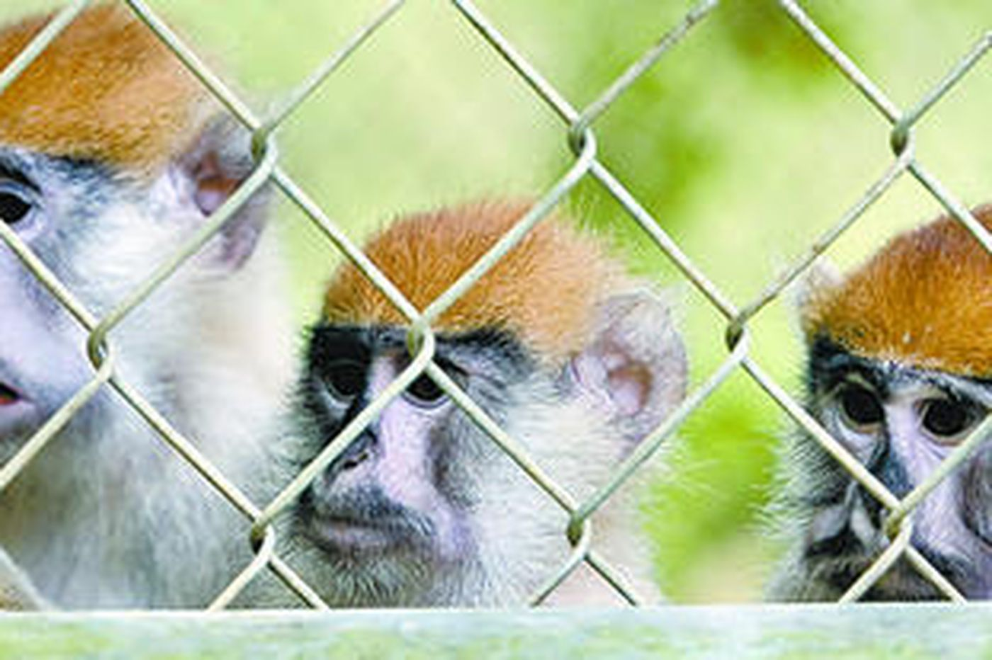 Puerto Rico hunting, killing troublesome monkeys