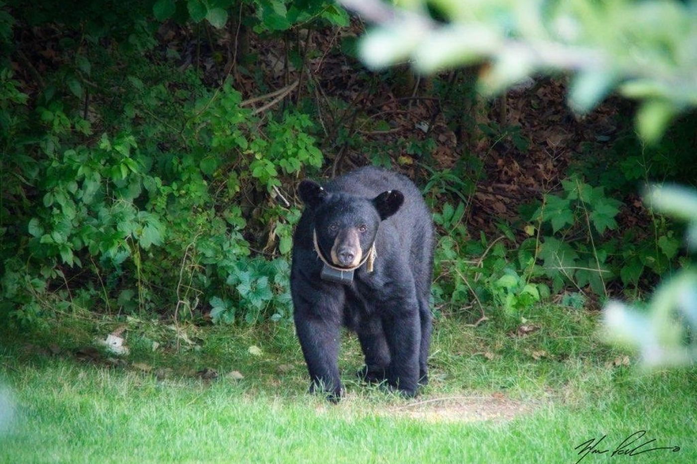 N.J. annual bear hunt to end next year, Gov. Phil Murphy says