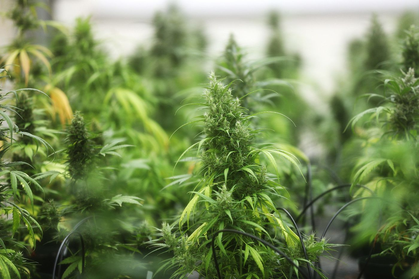 Aspiring hemp farmers and processors can now apply to produce it in the Garden State