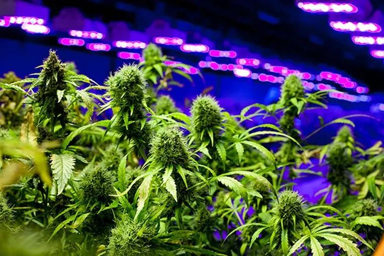 Medical marijuana grows at Compassionate Care Foundation, Egg Harbor Township, April 28, 2014.  ( DAVID M WARREN / Staff Photographer )