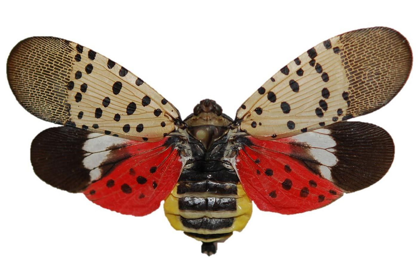 Pa. nets $17.5M to fight invasive spotted lanternfly