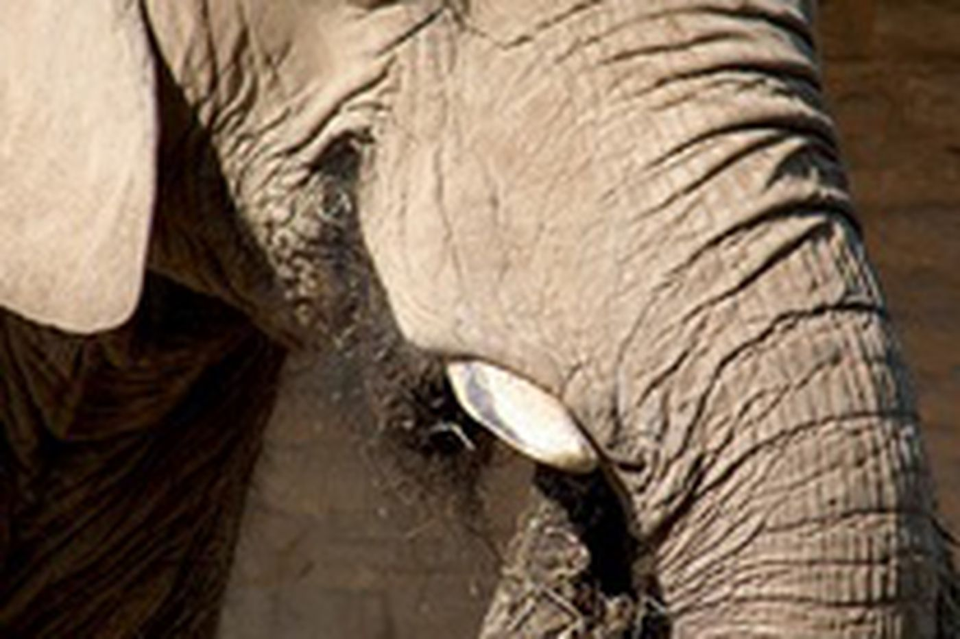 Phila. Zoo's oldest elephant dies of unknown cause