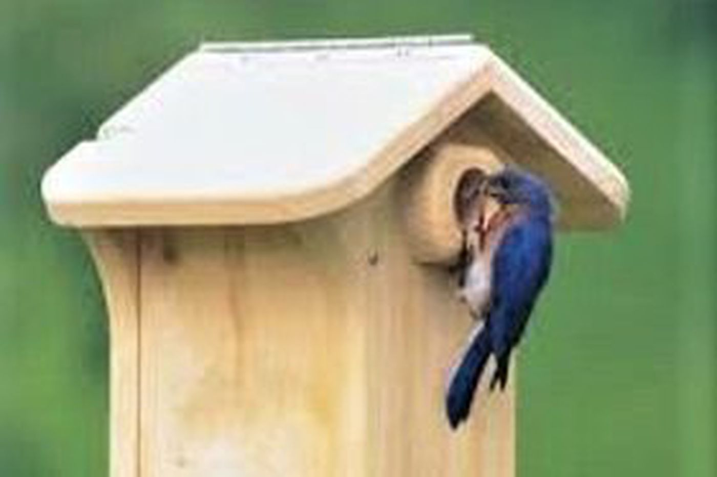As bluebirds flock to South Jersey, groups work to make their locations feel like home
