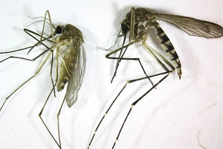 Cape May County, home to 45 species of mosquitoes, is particularly hellish because of the Delaware Bay to the west, the Atlantic Ocean to the east and thousands of acres of salt-water marshes in between. (AP file photo)