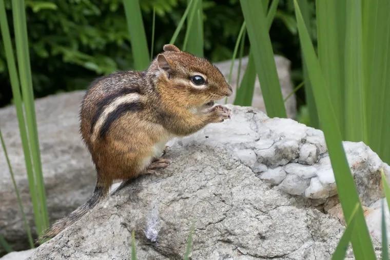 A chipmunk enjoying a rock break.