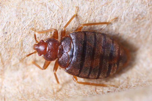 Bedbugs are bugging City Council