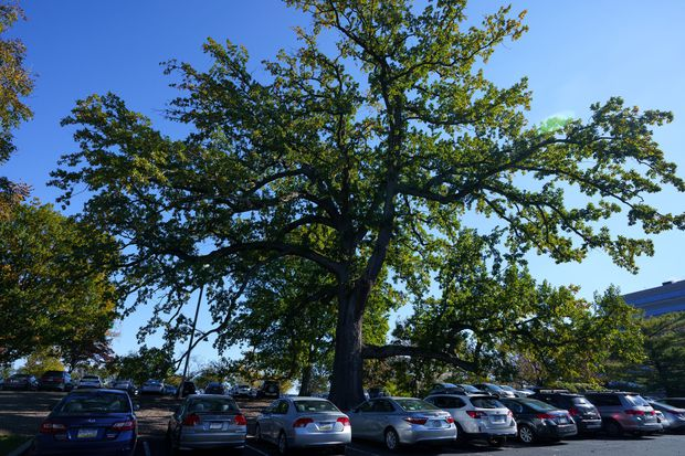 In Bala Cynwyd, a centuries-old tree could be cut down - for an office building