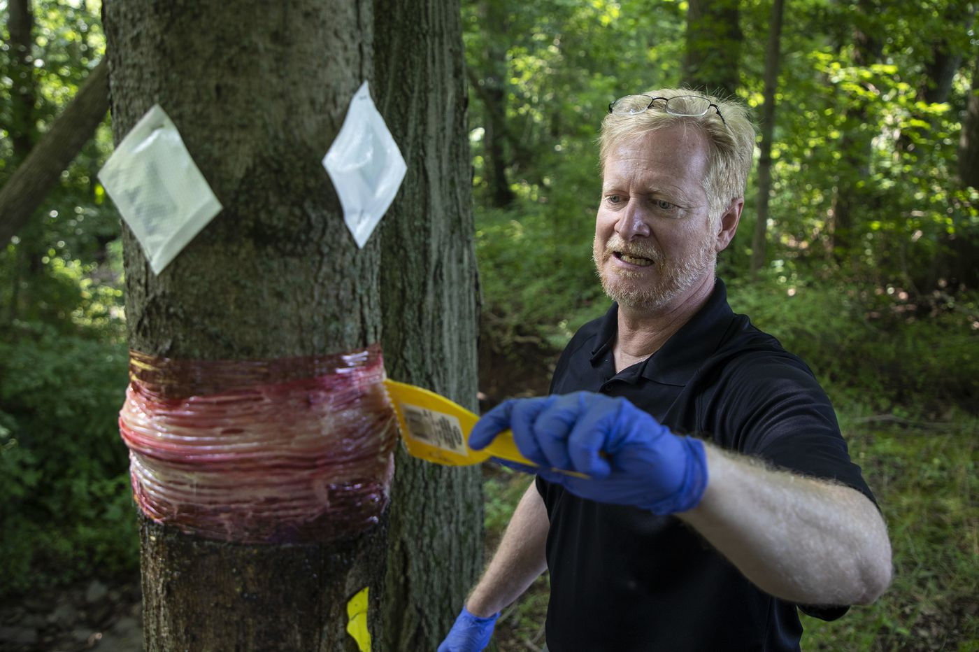 In Pa.'s spotted lanternfly invasion, enter a professor with a sticky trap