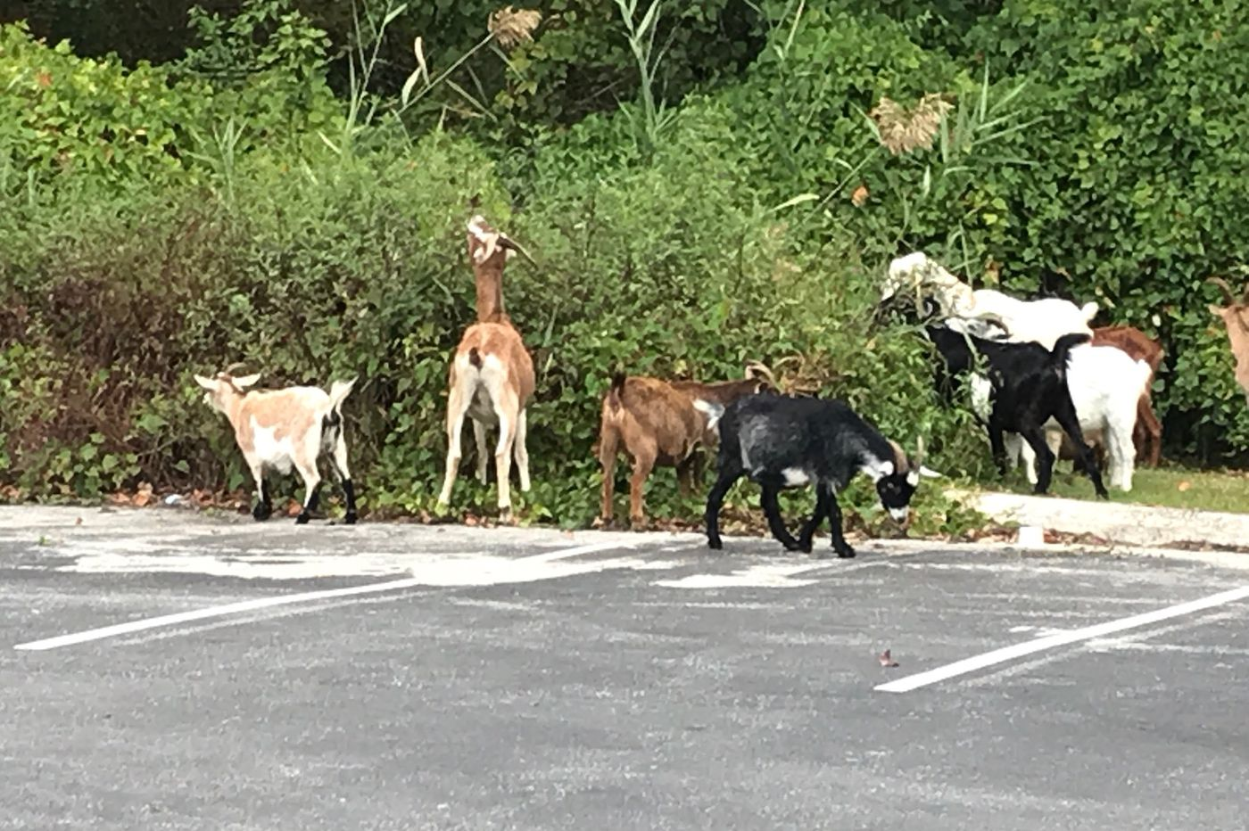 Hungry goats returned to farm after roaming around Chester County township