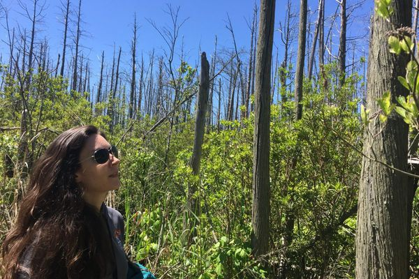 Rising seas could be turning Jersey's coastal cedars into ghost forests