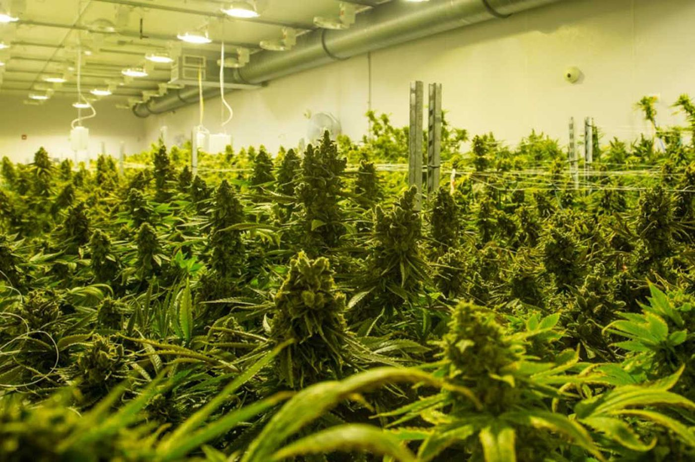 Pa.'s first legal marijuana harvest this month, in shops by Valentines Day