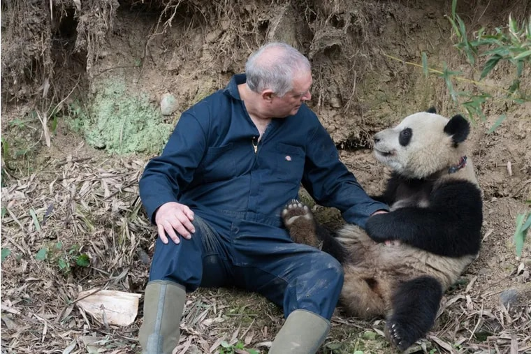 Biologist Ben Kilham interacts with Qian Qian, a giant panda that was artificially bred and released into the wild in China. He and other scientists affiliated with Drexel University are featured in a new documentary on the project.