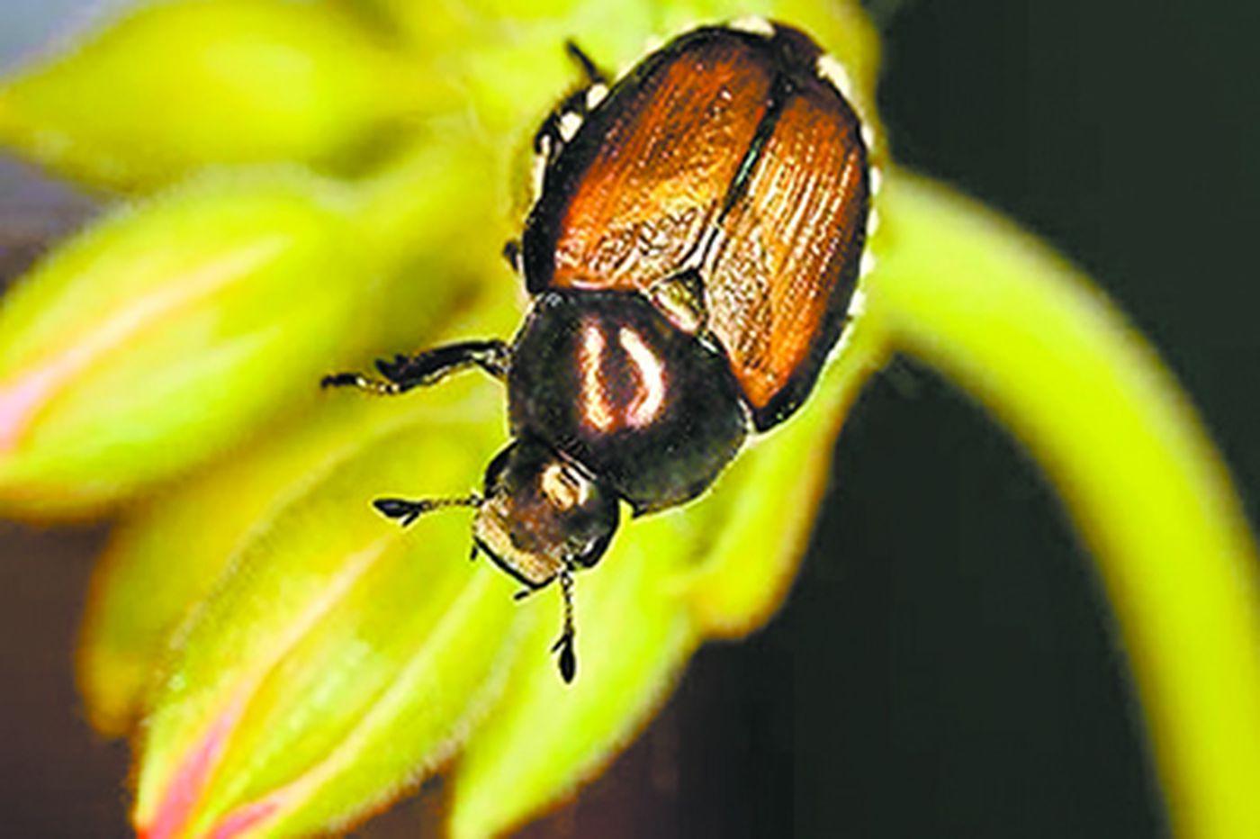 Death to Japanese beetles!
