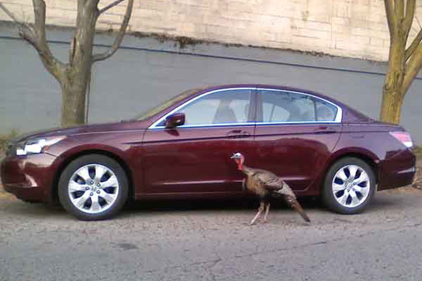 Call of the Wild Turkey of West Philly