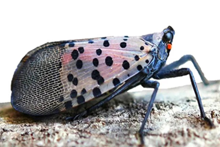 Lateral view of an adult Spotted Lanternfly. Photo by Lawrence Barringer, Pennsylvania Department of Agriculture