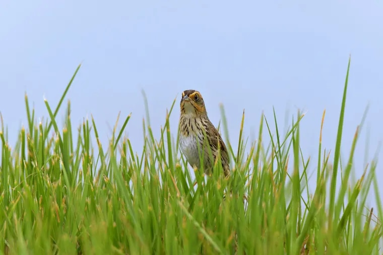 The saltmarsh sparrow, Ammospiza caudacutus, is found on coastal marshes across the East coast, but is in danger of going extinct.