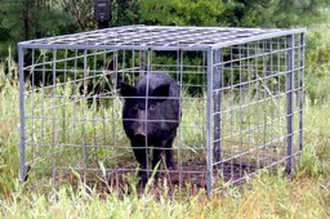 Feral pigs cause worry in Gloucester County