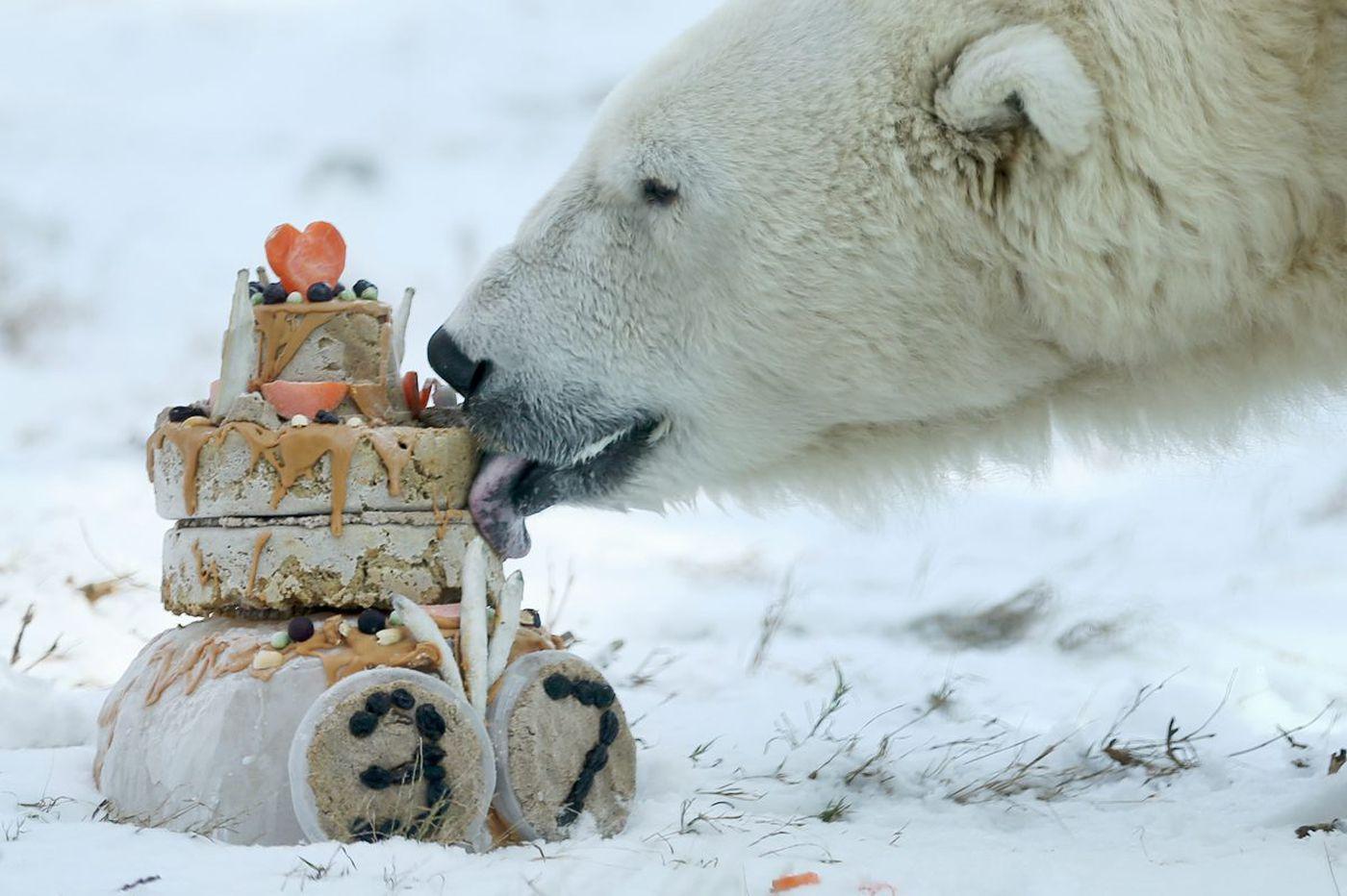 Coldilocks, Philadelphia Zoo polar bear, euthanized after 'serious decline' in health