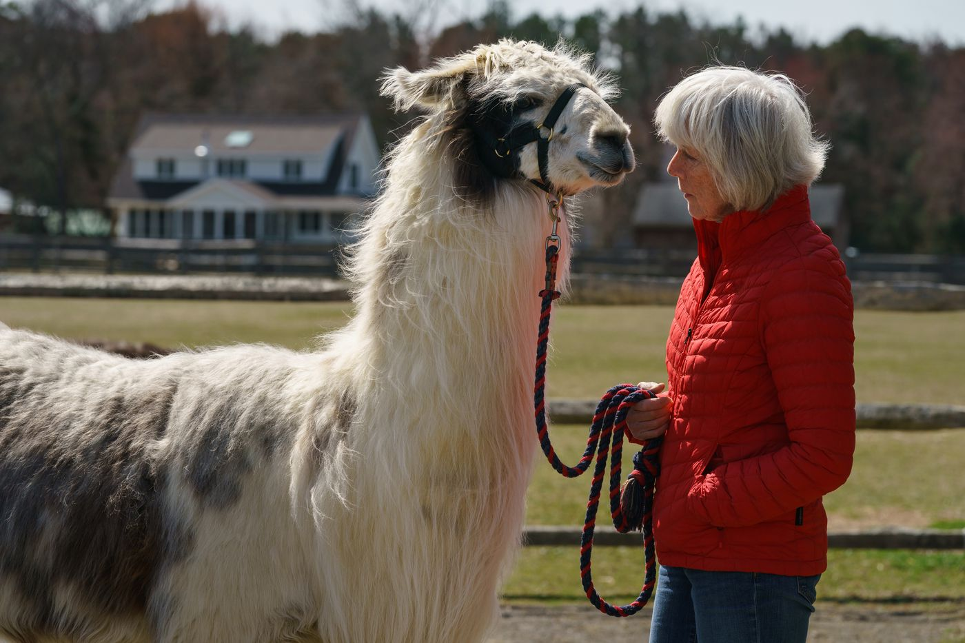 Better than a spa day': I took a walk with a llama and found inner