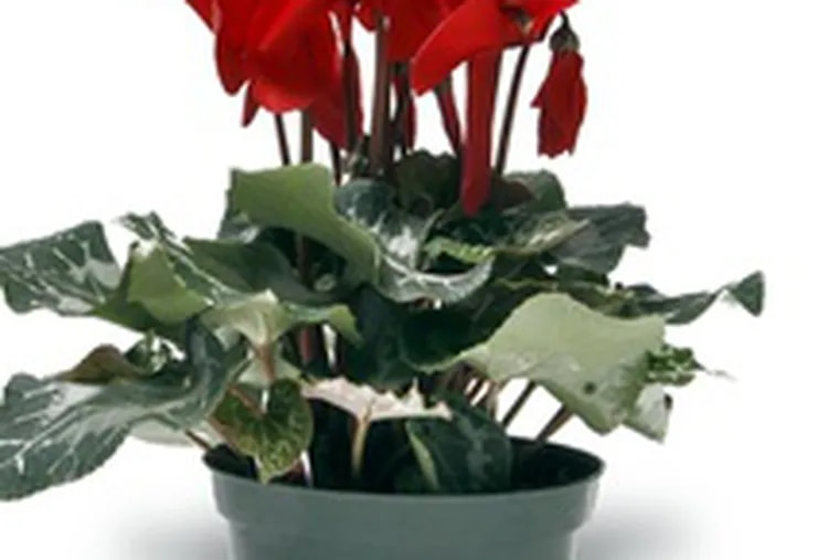 In addition to red, the jaunty-looking cyclamen comes in pinks and whites. It can flower throughout the winter.