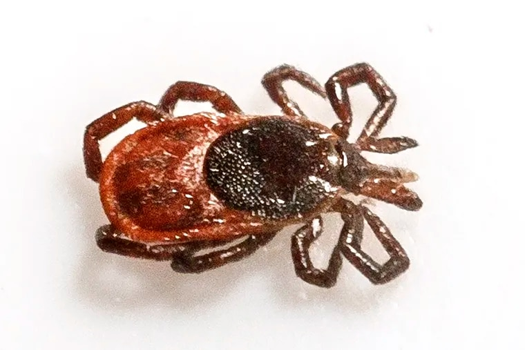 This is a Ixodes Scapularis, or more commonly called a deer tick, or a black legged tick, that carries Lymes Disease and it was sent to ESU's Dr. Jane Huffman Wildlife Genetics Institute to be identified.
