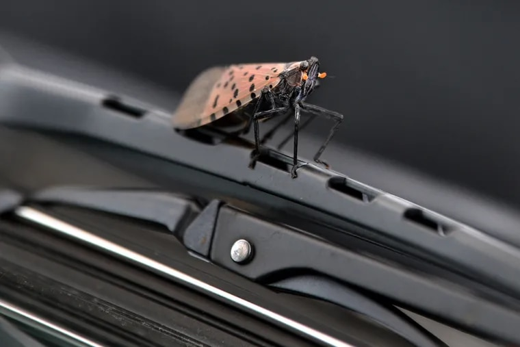 A spotted lanternfly on an automobile wiper blade in October.