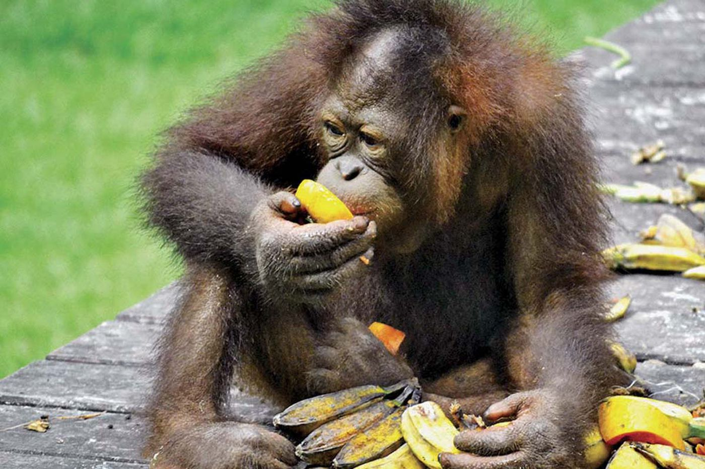 Borneo: Exotic orang utans, macaques - and a Philly LOVE sculpture