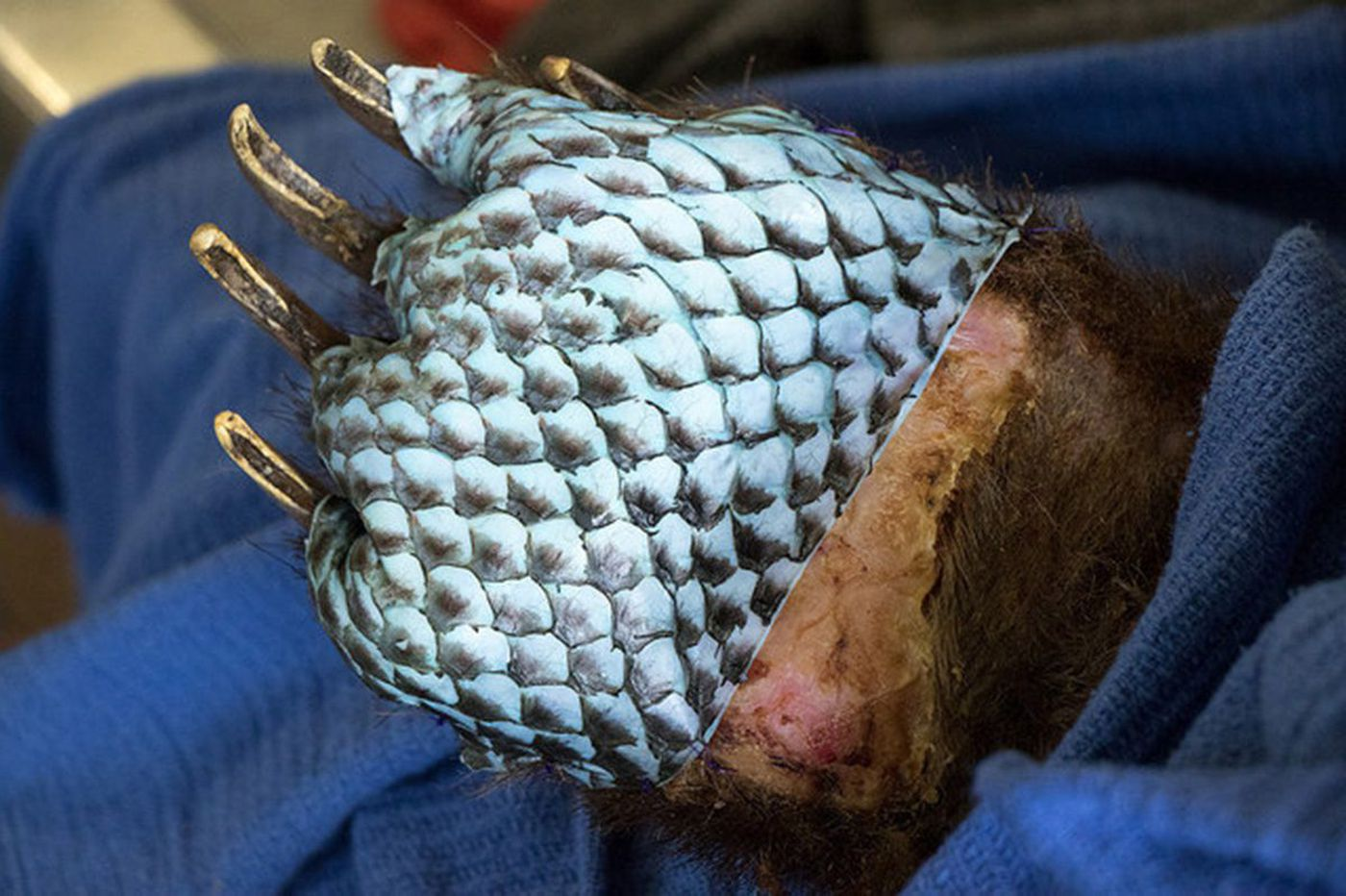 Two bears were badly burned in wildfires, and fish skin helped heal them