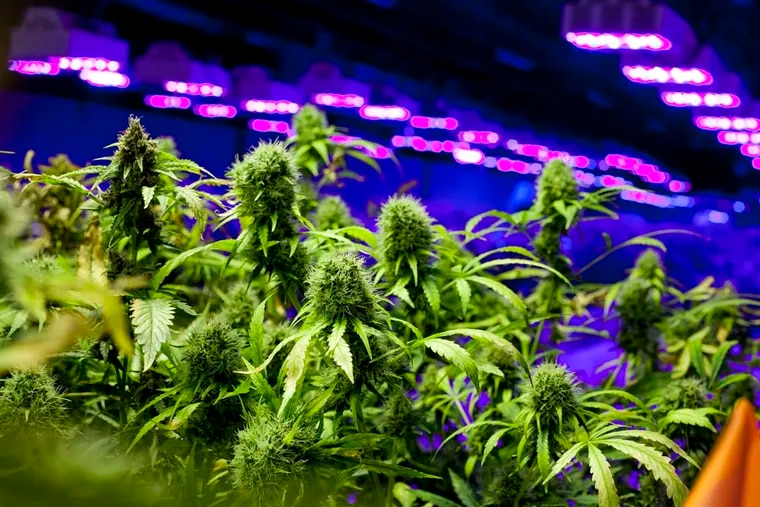 Don't trying growing this at home — the repercussions can vary greatly between Pennsylvania and New Jersey. This marijuana was grown, legally, at Compassionate Care Foundation, Egg Harbor Township, in 2014.
