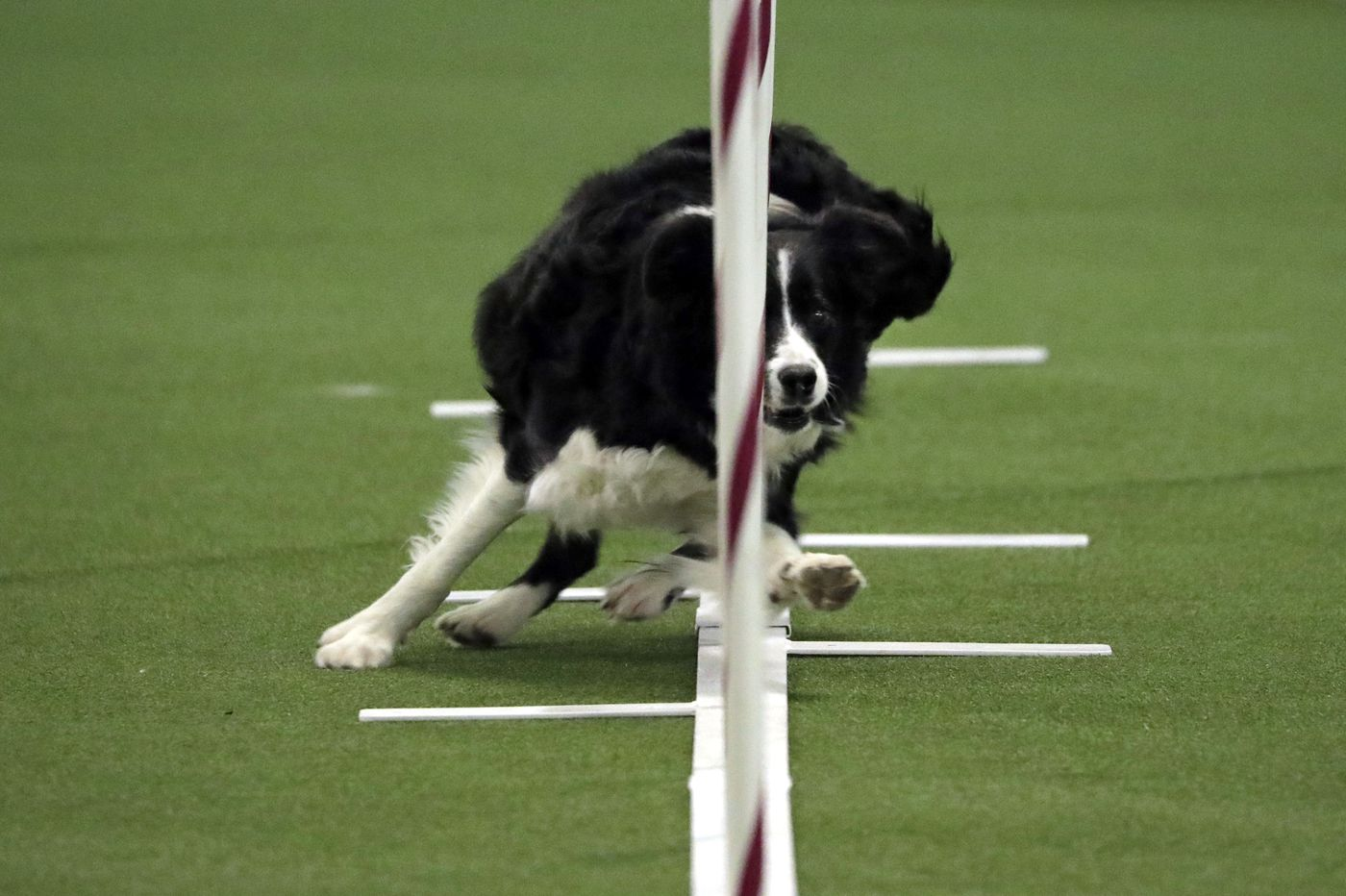 Dog agility aces compete as Westminster show opens