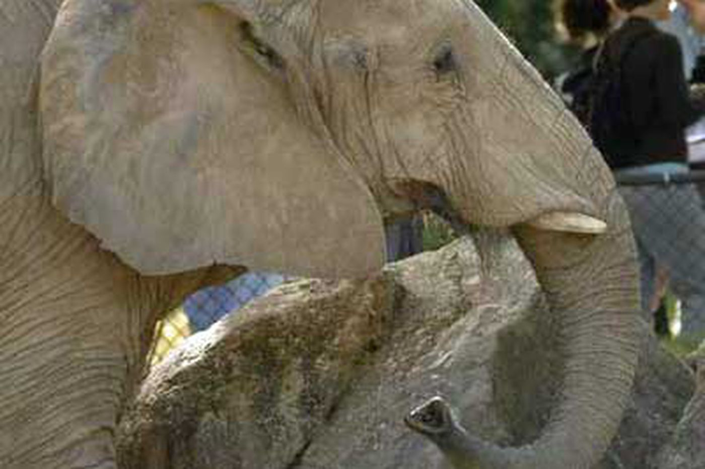 Petal, oldest Phila. zoo elephant, dies