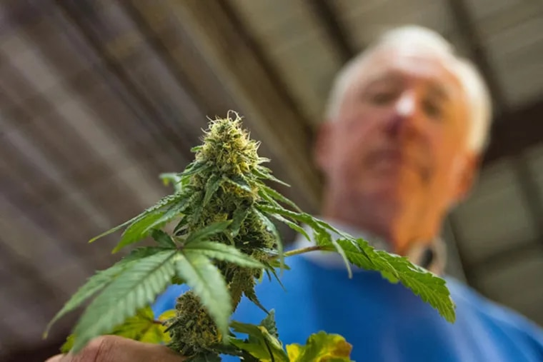 Bill Thomas, CEO of Compassionate Care Foundation, in Egg Harbor Township, N.J., holds a medical marijuana flower grown at the foundation's facility. ( DAVID M WARREN / Staff Photographer )