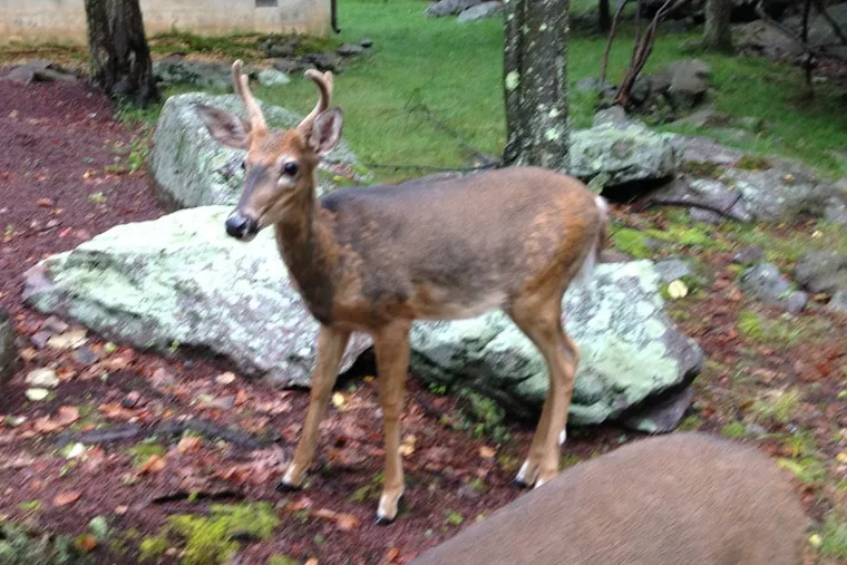 File. A white-tailed deer in Pennsylvania.