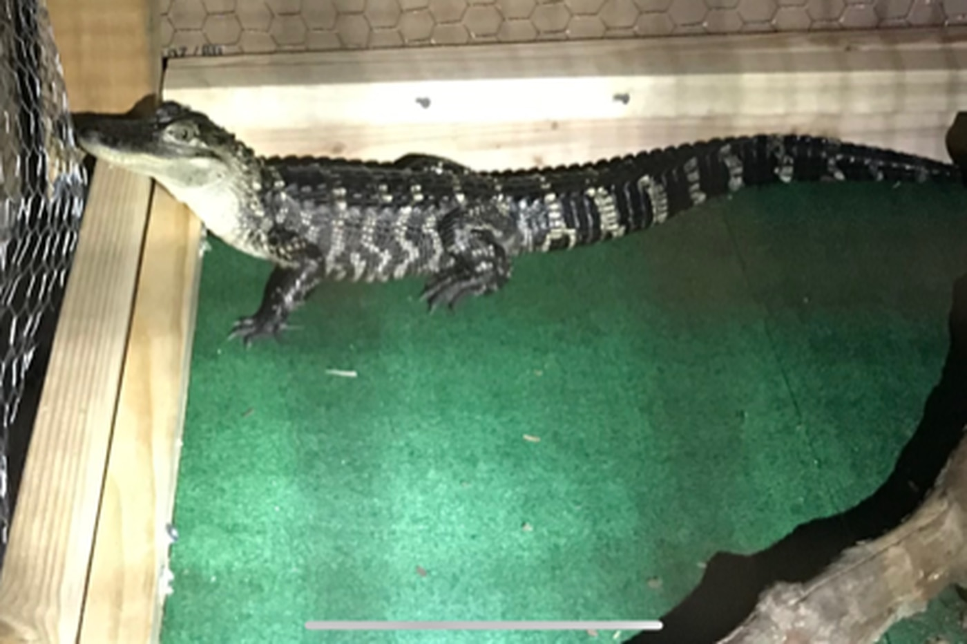 Three men and an alligator snagged in drug bust, Chesco DA says