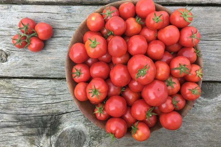 Plate de Haiti Tomato, pictured here, was brought to the area in 1793 by Creole refugees fleeing the Haitian slave uprising. Petite and productive, its seeds can be purchased through outlets like Truelove Seeds and Bartram's Garden.