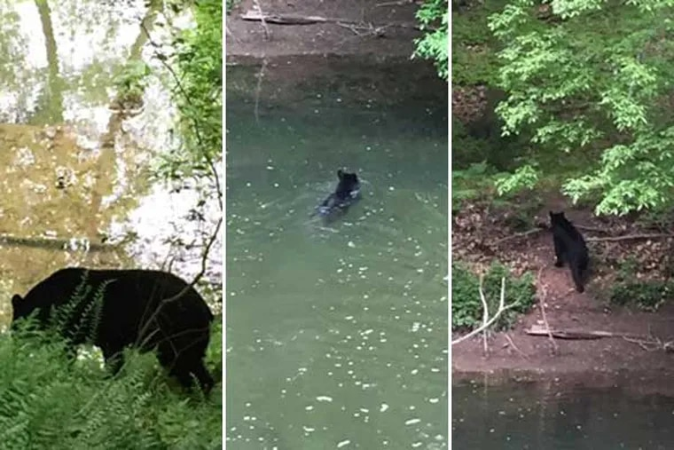 A black bear was spotted in the Wissahickon Creek on Friday, May 13, 2016.