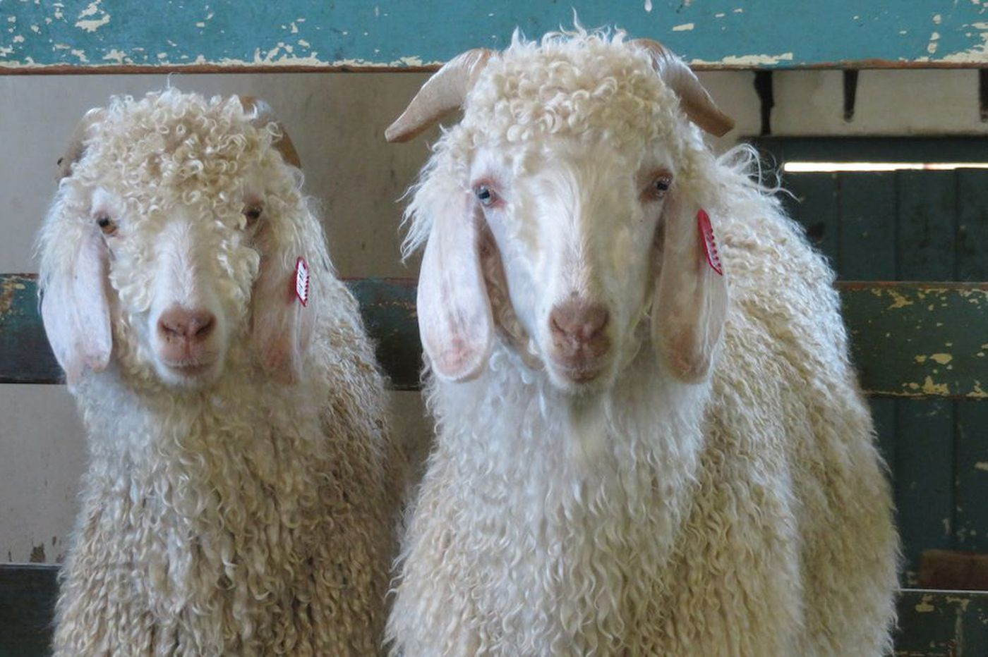 H&M, Zara, and others ban mohair products after animal cruelty investigation