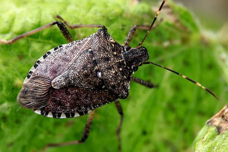 Nuisance pest -- the brown marmorated stink bug.