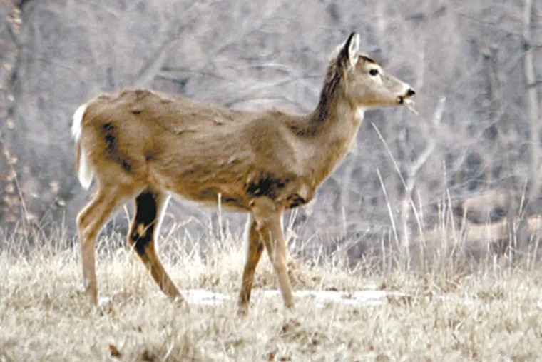 The deer population in Valley Forge National Historic Park was estimated in 2009 at 1,227, or about 241 animals per square mile. (Laurence Kesterson / Staff Photographer)
