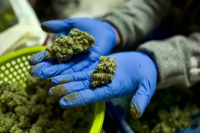 This file photo shows a cannabis worker displaying fresh cannabis flower buds.