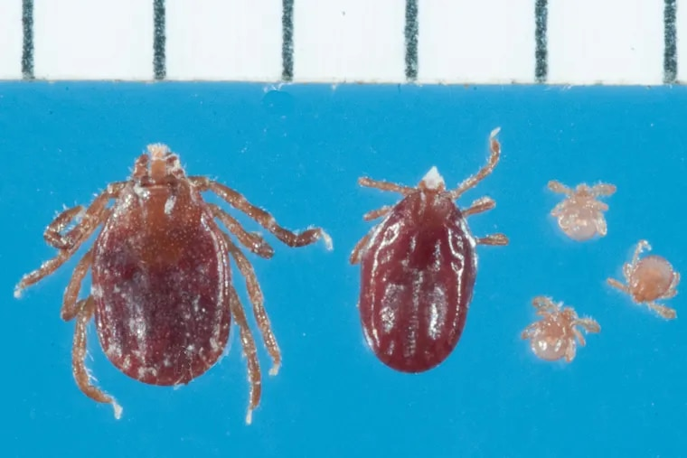 The longhorned tick, Haemaphysalis longicornis in larval, nymph and adult stages. Hash marks denote scale in millimeters.