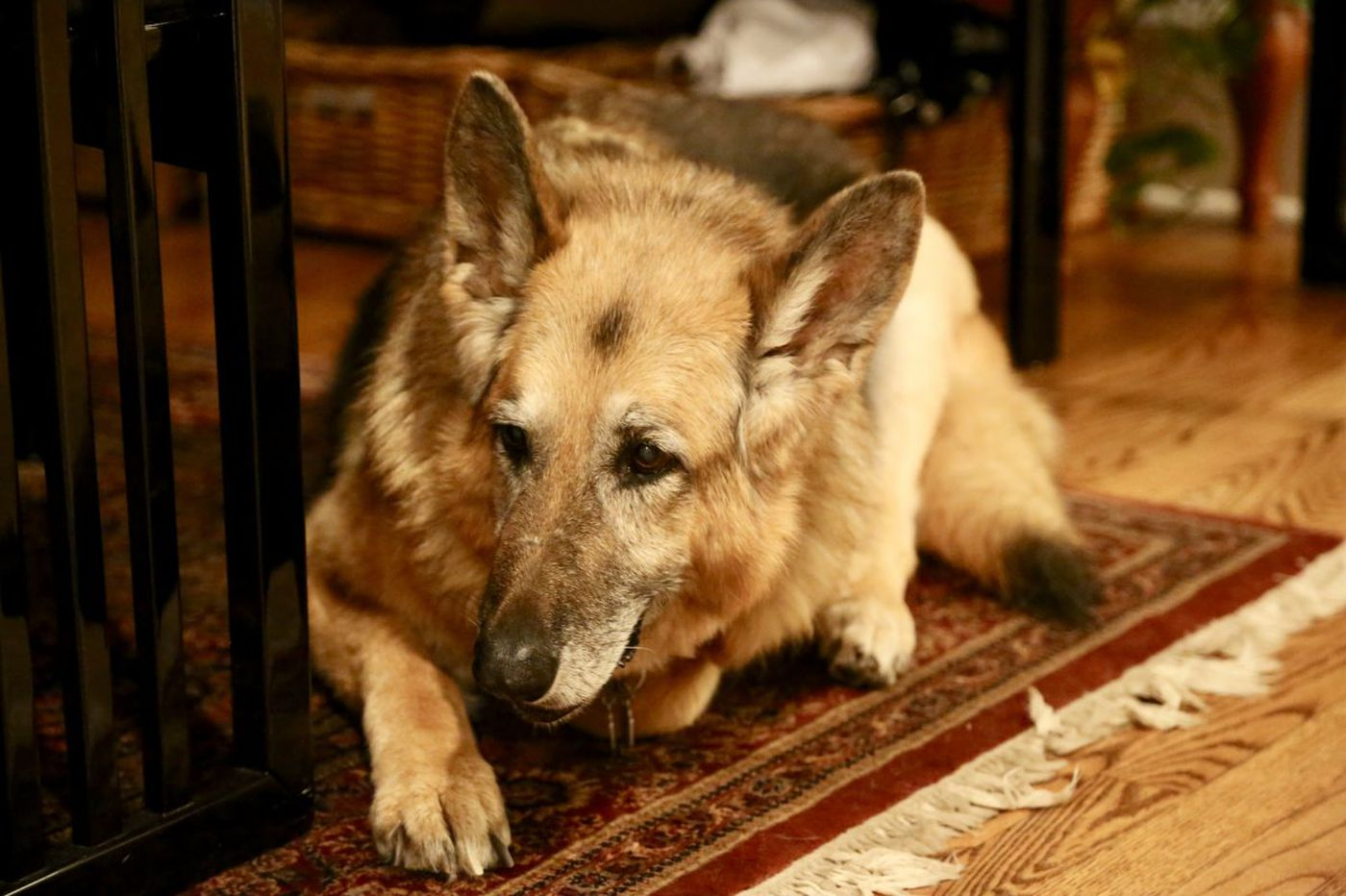 Medical Mystery: Why was German shepherd limping?
