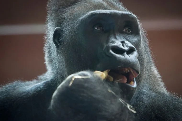 Jabari, a Silverback gorilla, was photographed enjoying a snack in the primate exhibit at the Philadelphia Zoo in July 2013. (ALEJANDRO A. ALVAREZ / STAFF PHOTOGRAPHER )