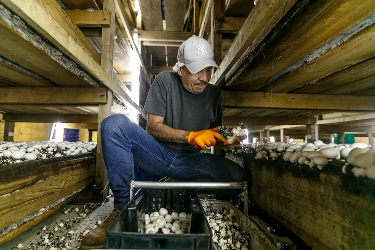 Roberto Zurita, who has been working at Phillips Mushroom Farm for nine years, clears the stems from white button mushrooms as he works in the mushroom house in Kennett Square.