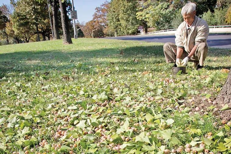 An unidentified Asian man collects gingko along the grassy area of Roosevelt Boulevard near Adams Avenue on Thursday, October 30, 2014. ( ALEJANDRO A. ALVAREZ / STAFF PHOTOGRAPHER )