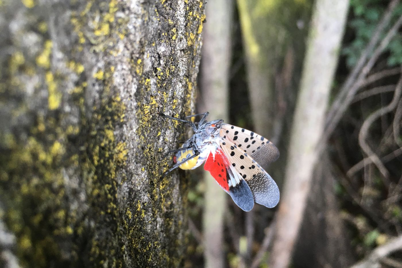 Philly cops: Please don't call 911 to report spotted lantern fly invasions