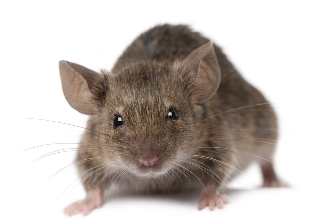 Comcast's latest thing: Helping Victor's wireless rodent traps send kill alerts